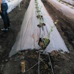 Cultivo arándanos Colombia