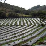 Cultivo de arándanos en Colombia