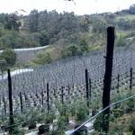 Cultivos-arandanos-1