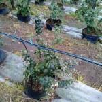 Cultivos-arandanos-2