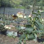 Cultivos-arandanos-4