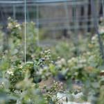 Cultivos-arandanos-7