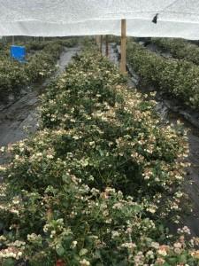 cultivos-arandanos-10