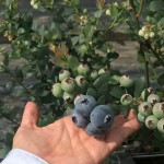 cultivos-arandanos-15