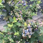 cultivos-arandanos-16