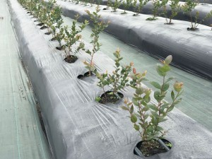 cultivos-arandanos-18