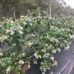 cultivos-arandanos-22