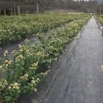 cultivos-arandanos-23