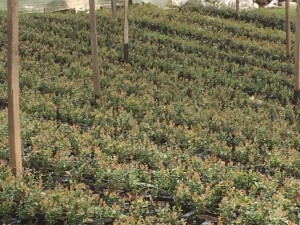 cultivos-arandanos-25