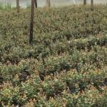 cultivos-arandanos-26