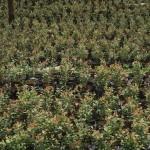 cultivos-arandanos-28