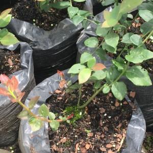 cultivos-arandanos-29