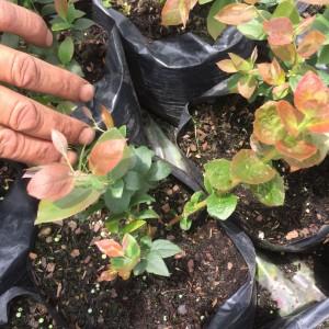 cultivos-arandanos-30