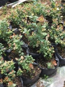 cultivos-arandanos-31