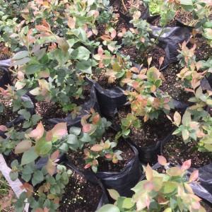 cultivos-arandanos-32