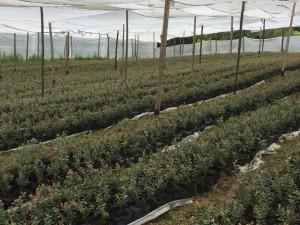 cultivos-arandanos-33