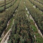 cultivos-arandanos-34